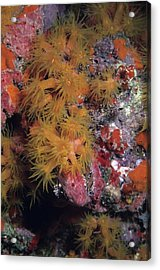 Orange Cup Coral And Sponges Acrylic Print