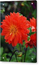 Orange Dahlia Acrylic Print