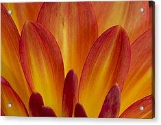 Orange Dahlia Petals Acrylic Print