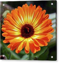Orange Daisy Delight Acrylic Print by Don  Wright
