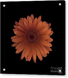 Orange Daisy Front Acrylic Print