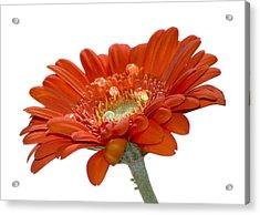 Orange Daisy Gerbera Flower Acrylic Print by Pixie Copley