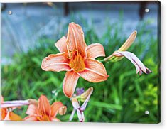 Acrylic Print featuring the photograph Orange Daylily by D K Wall