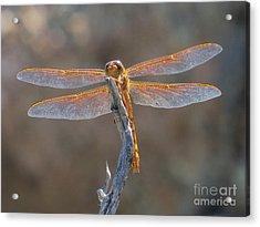 Dragonfly 3 Acrylic Print