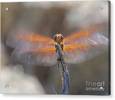 Dragonfly 4 Acrylic Print