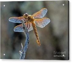 Dragonfly 6 Acrylic Print