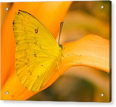 Orange Emigrant Butterfly Acrylic Print