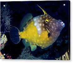Acrylic Print featuring the photograph Orange Filefish by Jean Noren