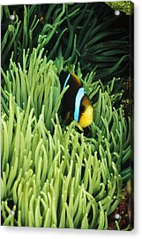Orange-fin Anemone Fish, Amphiprion Acrylic Print by James Forte