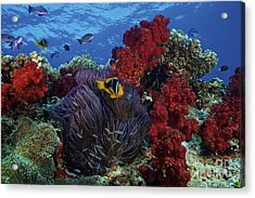 Orange-finned Clownfish And Soft Corals Acrylic Print by Terry Moore