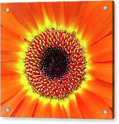 Orange Flower Macro Acrylic Print