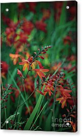 Orange Flowers 8 Acrylic Print