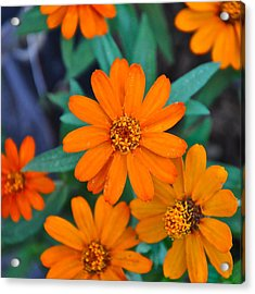 Orange Flowers Acrylic Print by Lori Kesten