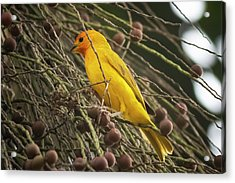 Orange Fronted Yellow Finch Panaca Quimbaya Colombia Acrylic Print