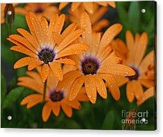 Orange Gazania Acrylic Print