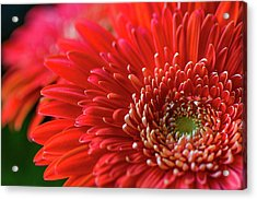 Acrylic Print featuring the photograph Orange Gerbera by Clare Bambers