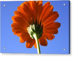 Orange Gerbera Flower Acrylic Print