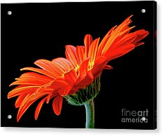 Orange Gerbera On Black Acrylic Print