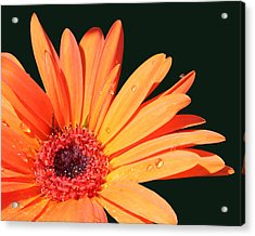 Orange Gerbera On Black Right Side  Acrylic Print by Cathy  Beharriell