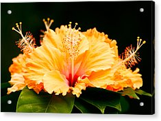 Orange Hibiscus Acrylic Print