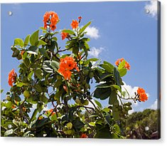 Orange Hibiscus With Fruit On The Indian River In Florida Acrylic Print by Allan  Hughes