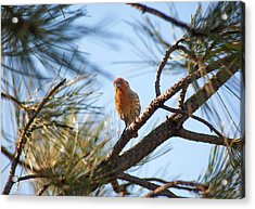 Orange House Finch 2 Acrylic Print