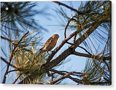 Orange House Finch Acrylic Print