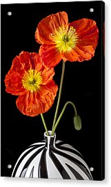 Orange Iceland Poppies Acrylic Print by Garry Gay