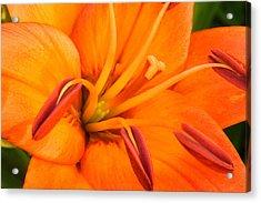 Orange II Acrylic Print by Amanda Kiplinger