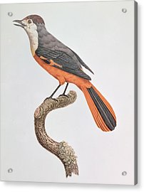 Orange Jay Acrylic Print by Jacques Barraband
