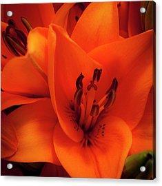 Orange Lily Acrylic Print by David Patterson