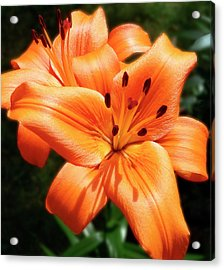 Orange Lily Joy Acrylic Print