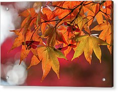 Acrylic Print featuring the photograph Orange Maple Leaves by Clare Bambers