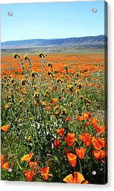 Acrylic Print featuring the mixed media Orange Poppies And Fiddleneck- Art By Linda Woods by Linda Woods