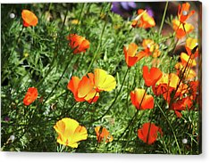 Orange Poppy Flowers . R1269 Acrylic Print by Wingsdomain Art and Photography