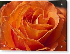 Orange Rose 2 Acrylic Print by Steve Purnell