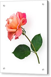 Orange Rose Specimen Acrylic Print