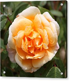 Orange Rose Square Acrylic Print by Carol Groenen