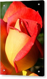 Orange Rosebud Acrylic Print by PIXELS  XPOSED Ralph A Ledergerber Photography