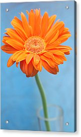 Orange Slanted Gerbera Acrylic Print by Photography by Gordana Adamovic Mladenovic
