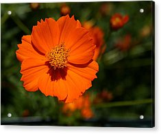 Orange Sulfur Cosmos Flower Acrylic Print