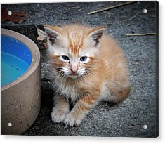 Orange Tabby Shorthair Kitten Acrylic Print