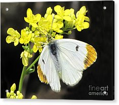 Acrylic Print featuring the photograph Orange Tip Butterfly by Jacqi Elmslie