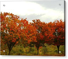 Orange Trees At Minto Brown Acrylic Print by Katherine Adams