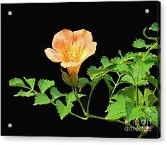 Orange Trumpet Flower Acrylic Print