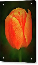 Acrylic Print featuring the photograph Orange Tulip Painting Neo Rembrandt Style by Matthias Hauser