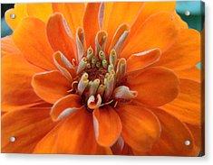 Orange Zinna Acrylic Print