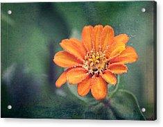 Orange Zinnia Acrylic Print