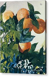 Oranges On A Branch Acrylic Print by Winslow Homer