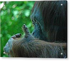 Orangutan 1 Acrylic Print